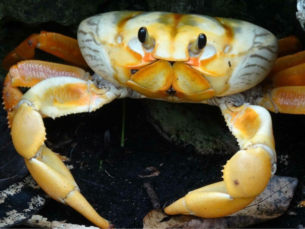 Krabbe auf Kuba
