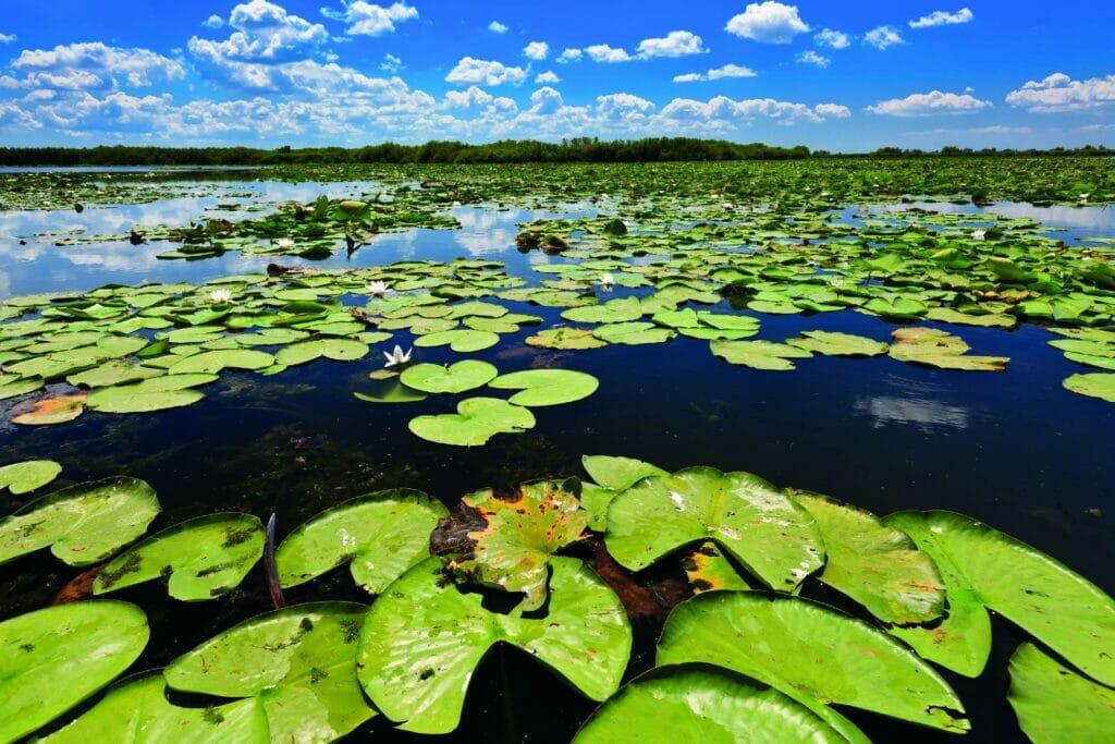 Rumänien Donau Delta Seerosen