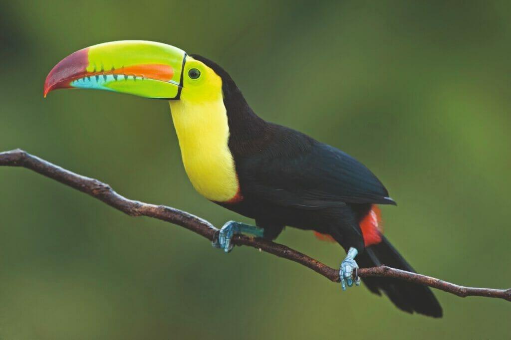 Costa Rica Tukan