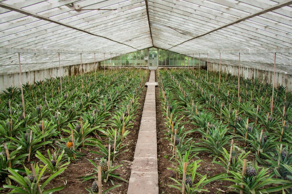Azoren, Ananasplantage