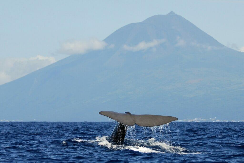 Azoren Whale Watching